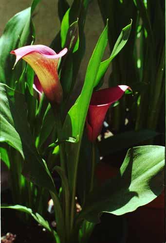 Altre piante for Calla pianta